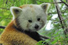 Ailurus fulgens Panda rosso O minore Lizenzfreie Stockbilder