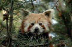 ailurus fulgens pandy czerwień Zdjęcie Stock