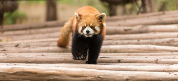 Ailurus fulgens. The profile of an Ailurus fulgens Royalty Free Stock Images