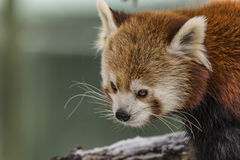 Ailurus fulgens in ZOO Liberec in winter time Stock Images