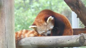 Ailurusfulgens, röd panda (4K) stock video
