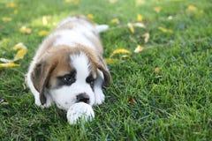 Aimée,一只逗人喜爱的圣伯纳德小狗 图库摄影