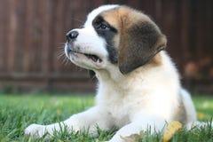 Aimée,一只逗人喜爱的圣伯纳德小狗 库存图片