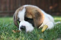 Aimée,一只逗人喜爱的圣伯纳德小狗 免版税库存图片