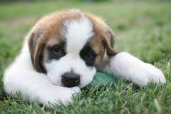 Aimée,一只逗人喜爱的圣伯纳德小狗 免版税库存照片