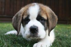 Aimée,一只逗人喜爱的圣伯纳德小狗 库存照片