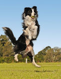 Aim high. Border Collie dog jumping in the air with ball Royalty Free Stock Image