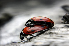 Aimer de Ladybird Images libres de droits