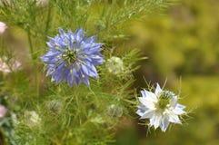Aimez en fleur de bleu de damascena de Nigella de brume Images stock