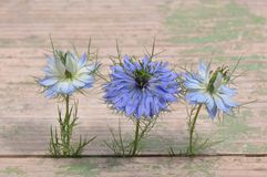 Aimez en fleur de bleu de damascena de Nigella de brume Photographie stock libre de droits