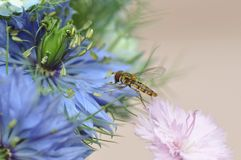 Aimez en fleur de bleu de damascena de Nigella de brume Photos libres de droits