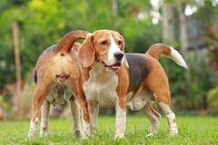 Aimez entre les chiens, amitié entre deux chiens de briquet Photos libres de droits