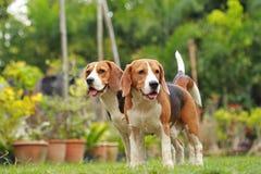Aimez entre les chiens, amitié entre deux chiens de briquet Images stock