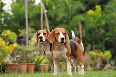Aimez entre les chiens, amitié entre deux chiens de briquet Photo libre de droits