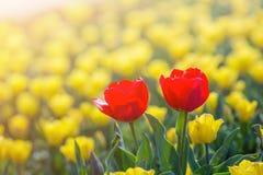 Aimez la tulipe au printemps sous la tulipe de rayon du soleil belle et colorée, dessus Photo stock