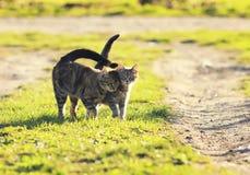 Aimez les chats de couples marchant sur le pré vert clair dans le spr ensoleillé Image libre de droits