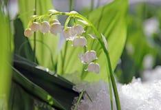 Aimez les lis de la fleur de fleur de vallée dans la neige Photo stock
