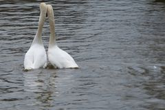 Aimez les oiseaux se penchant sur l'un l'autre sur une rivière Image stock