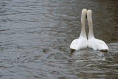 Aimez les oiseaux se penchant sur l'un l'autre sur une rivière Image libre de droits