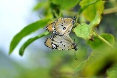 Aimez les papillons quand il s'agit de saison d'élevage Image libre de droits
