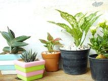 Ainda as plantas naturais da casa da vida na textura de madeira do fundo com espaço copiam Fotografia de Stock Royalty Free