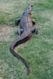 Ainda escultura do crocodilo da vida na grama Imagens de Stock
