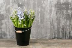 Ainda jacinto da flor da vida Planta bulbosa, que cresce na área do jardim e na casa Fotos de Stock