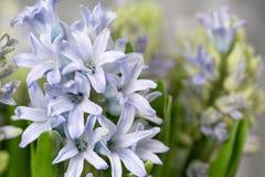 Ainda jacinto da flor da vida Planta bulbosa, que cresce na área do jardim e na casa Fotos de Stock Royalty Free