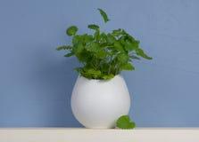 Ainda-vida azul e branca com a hortelã no vaso Imagens de Stock