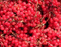 Ainda vida com a colheita de muitos grupos maduros de bagas do viburnum como a opinião do close up do fundo imagens de stock royalty free