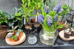 Ainda vida com o jacinto em torno da coleção do cacto e das plantas carnudas Imagem de Stock Royalty Free