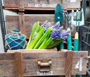 Ainda vida com o jacinto na madeira de armário do vintage Imagens de Stock Royalty Free