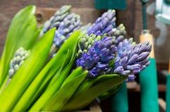 Ainda vida com o jacinto na madeira de armário do vintage no inte rústico Imagem de Stock