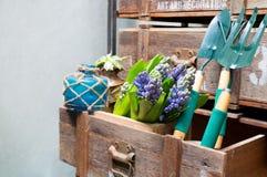 Ainda vida com o jacinto na madeira de armário do vintage no inte rústico Fotografia de Stock