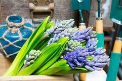 Ainda vida com o jacinto na madeira de armário do vintage no inte rústico Imagens de Stock Royalty Free