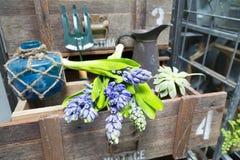 Ainda vida com o jacinto na madeira de armário do vintage no inte rústico Imagem de Stock Royalty Free