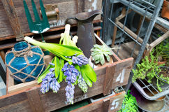 Ainda vida com o jacinto na madeira de armário do vintage no inte rústico Foto de Stock