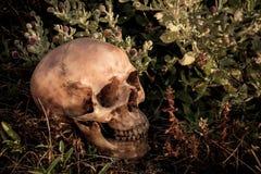 Ainda vida com um crânio na floresta Imagem de Stock