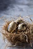 Ainda-vida conceptual com os ovos de codorniz no ninho do feno sobre o fundo cinzento, fim acima, foco seletivo Imagens de Stock