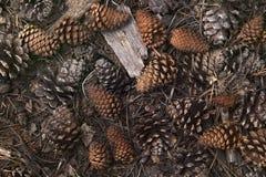 Ainda-vida de cones do pinho Imagem de Stock