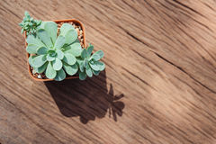 Ainda vida de três plantas do cacto no fundo de madeira Tex do vintage imagem de stock