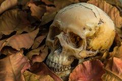 Ainda vida do crânio Imagens de Stock Royalty Free
