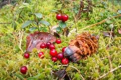 Ainda vida dos arandos no musgo, folha do amarelo do outono do cone do cedro Fotografia de Stock