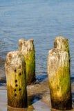 Aines en mer baltique Image libre de droits