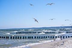 Aines en mer baltique avec des mouettes Image stock