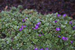 Ainroeta - сумашедше голубой фиолет стоковые изображения