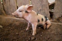 Ainsi coupe porcine image libre de droits