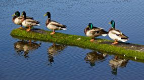 Ainsi nous faisons aligner les canards Maintenant ce qui ? Image libre de droits