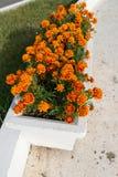 Aiola con i fiori arancio del tagete in giardino Fotografia Stock