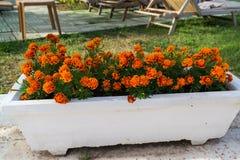 Aiola con i fiori arancio del tagete in giardino Fotografie Stock